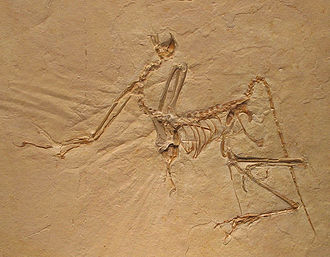Evolution of birds - Image: Archaeopteryx bavarica Detail