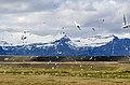 Arctic tern nesting on Iceland.jpg