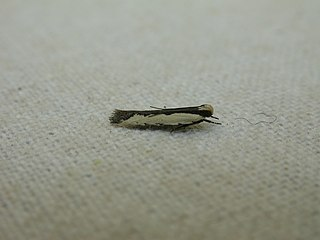 <i>Ardozyga mesochra</i> Species of moth