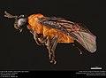 Argid sawfly (Argidae, Sphacophilus apios (Ross)) (37534853091).jpg