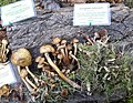 Armillaria mellea - Pilzausstellung Rostock 2015.jpg