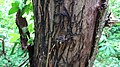 Armillaria mellea rhizomorphs, Lainshaw Woods, East Ayrshire.jpg
