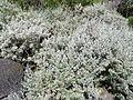 Artemisia argentea kz3.JPG