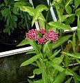 Asclepias incarnata - Flickr - peganum (3).jpg