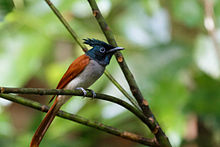 Asian Paradise-flycatcher (Female).jpg