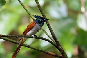 Indian paradise flycatcher - Female in Sri Lanka