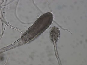Description de l'image Aspergillus clavatus.jpg.