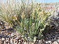 Astragalus spatulatus (7273553668).jpg