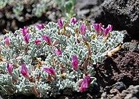 Astragaluspurshii1