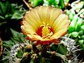 Astrophytum flower 210.jpg