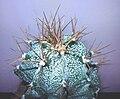 Astrophytum ornatum s.JPG