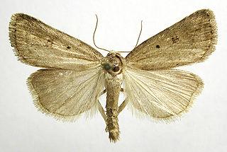 <i>Athetis</i> Genus of moths