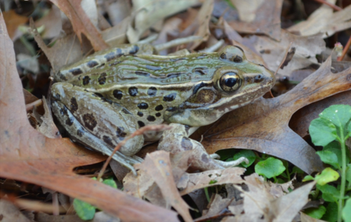 500px atlantic coast leopard frog