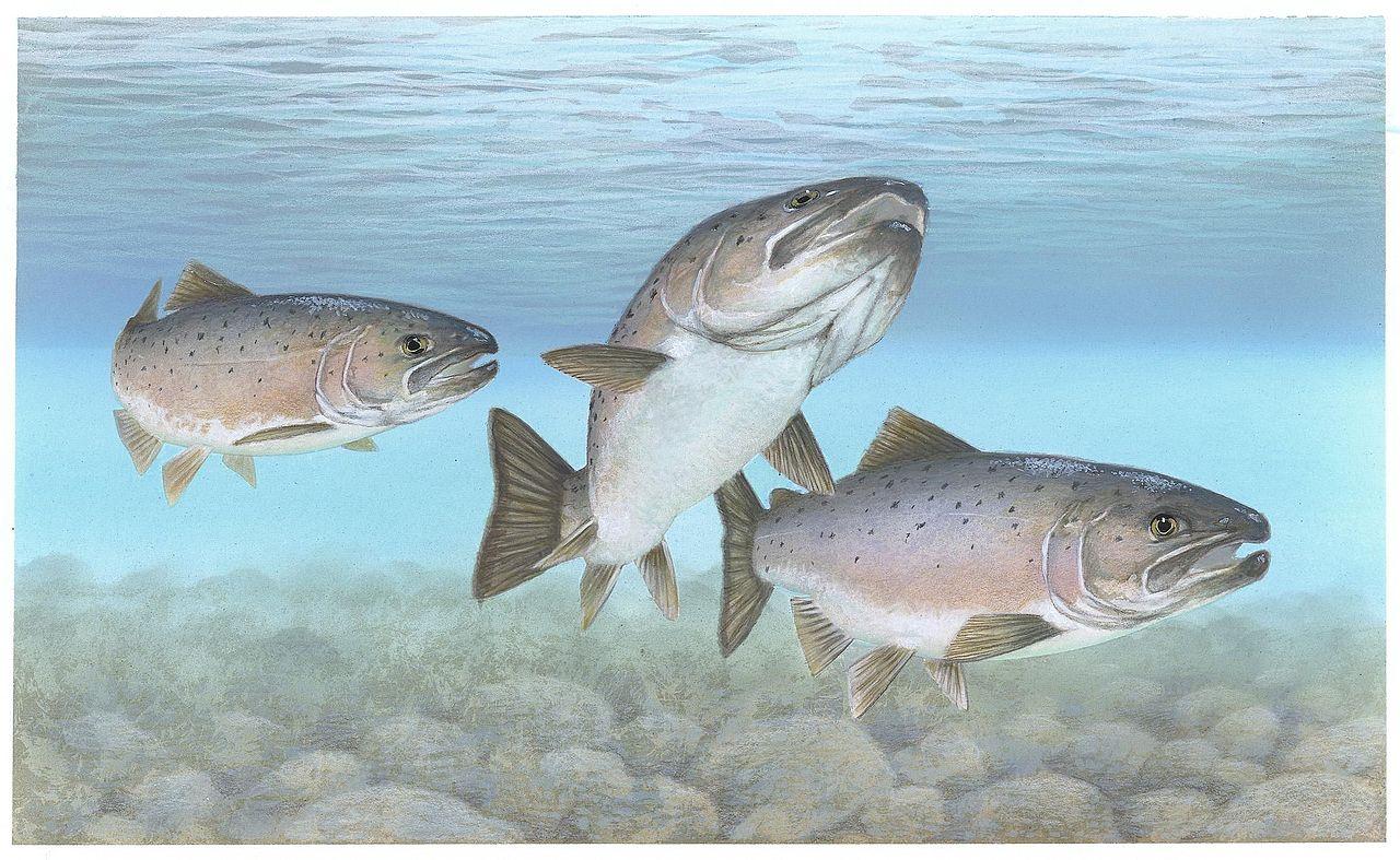Original file 2 161 1 329 pixels file size 535 kb for Salmon fish images