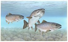 Atlantic salmon - WikipediaAtlantic Salmon Parr