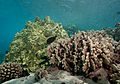 Auliflower coral (Pocillopora meandrina), lobe coral (Porites lobata), and finger coral (Porites compressa) (5762963067).jpg