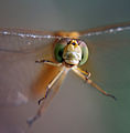 Aussiegall - dragonfly (by).jpg