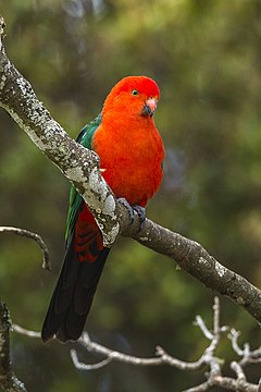 Australian King Parrot - Lamington NP - Queensland S4E6851 (22166077359).jpg