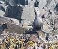 Australian fur seals male colony at The Friars - Pennicott Bruny Island cruise (33070950774).jpg