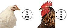 Zw Sex Determination System 23