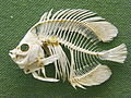 BLW Meyer's Butterfly Fish.jpg