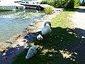 Baby swan @ Lake Annecy @ Port de Saint-Jorioz (50487816356).jpg