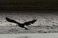 Bald Eagle (9317018012).jpg
