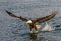 Bald Eagle - full frame (27796680880).jpg