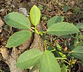 Baliospermum solanifolium 03.JPG