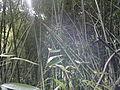 Bamboo bambou bambuseae phyllostachys viridiglaucescens VAN DEN HENDE ALAIN CC-BY-SA-4 0 210520142032.jpg