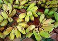 Bananas dsc07803.jpg