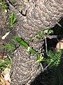 Banksia serrata shoots.jpg