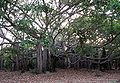 Banyan Tree at IITMadras1.JPG