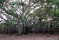 Banyan Tree at IITMadras1.JPG