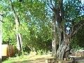 Banyan tree in Sivagangai park - panoramio.jpg