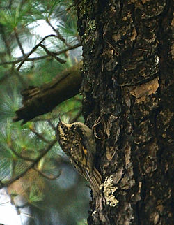 Bar-tailed Treecreeper.JPG