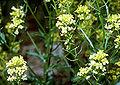 Barbarea vulgaris1.jpg