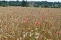 Barley field - geograph.org.uk - 914216.jpg