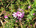 Bauera sessiliflora.jpg