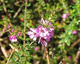 Bauera sessiliflora