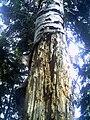 Baum in Denzlingen - panoramio.jpg