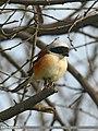 Bay-backed Shrike (Lanius vittatus) (33129331096).jpg