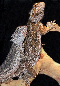 Bearded dragon pile