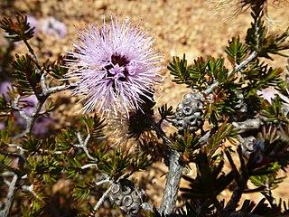 <i>Beaufortia schaueri</i> species of plant