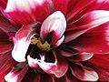 Beautiful flower - fleur resplendissante - panoramio.jpg