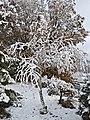 Bedoll amb neu a la vall de l'Isàvena.jpg