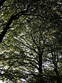Beeches near Clampitt House - geograph.org.uk - 580215.jpg