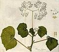 Begonia dichotoma B619.jpg