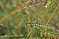 Bellied bright bush-cricket (Poecilimon thoracicus) female.jpg
