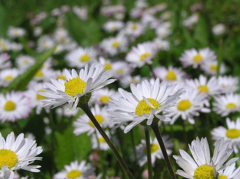 List of Plants 800px-Bellis_perennis_macro